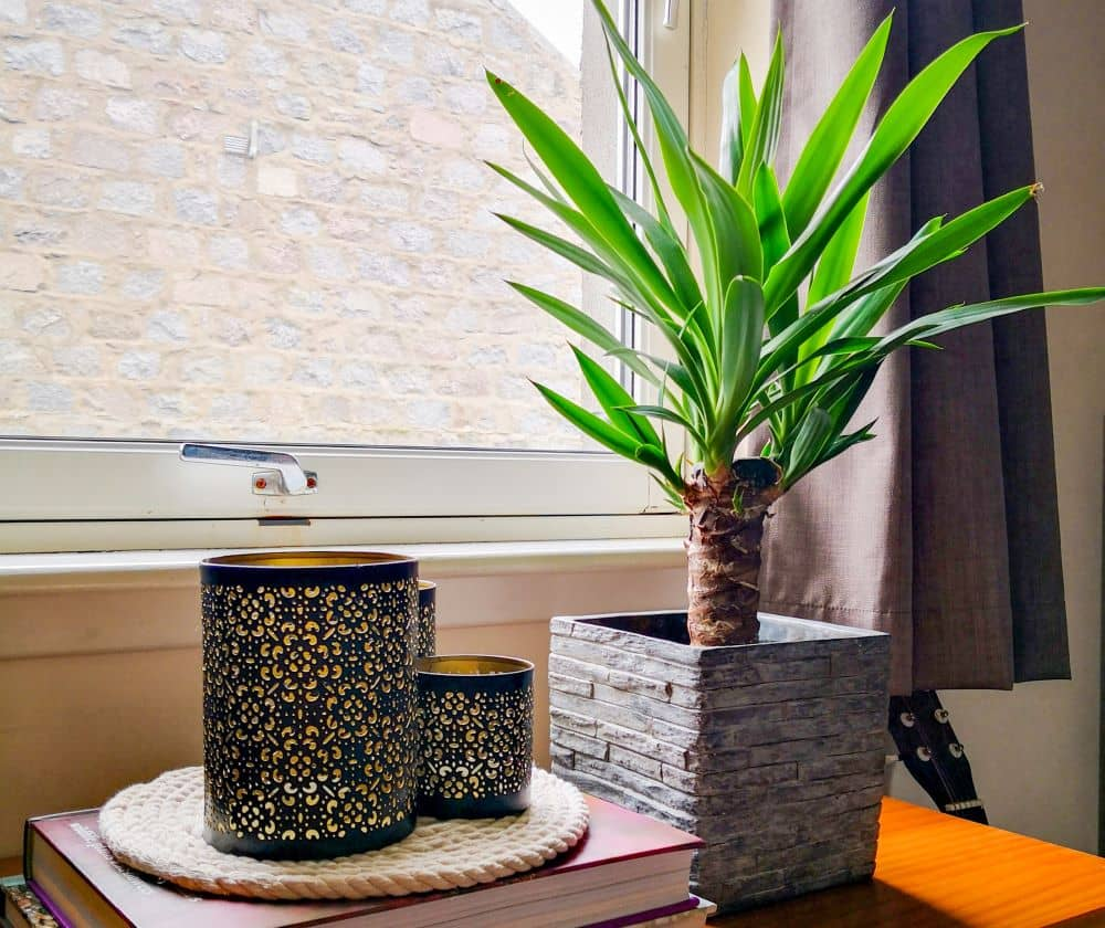 Yuccas are originally desert plants but they can be placed indoors too.