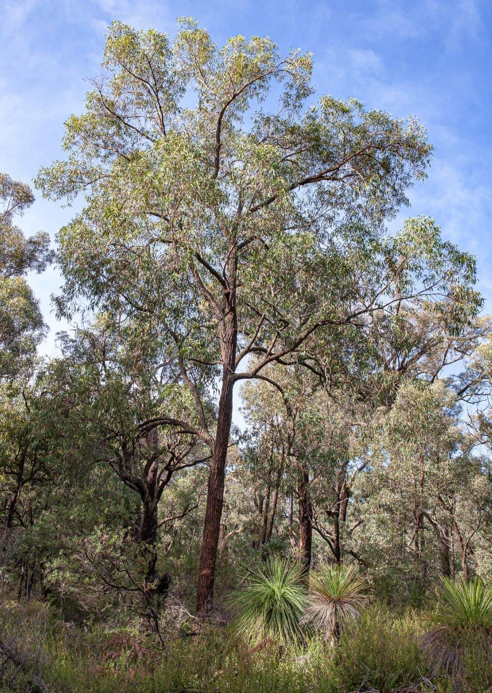 Australian blackbutt tree.