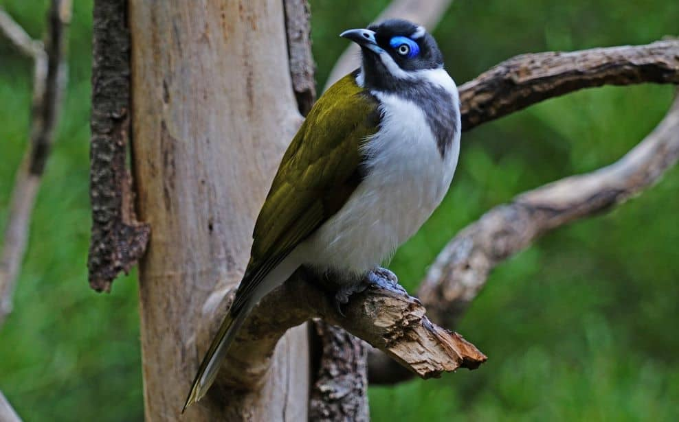 Honeyeaters provide plenty of benefits to Spotted Gum trees.