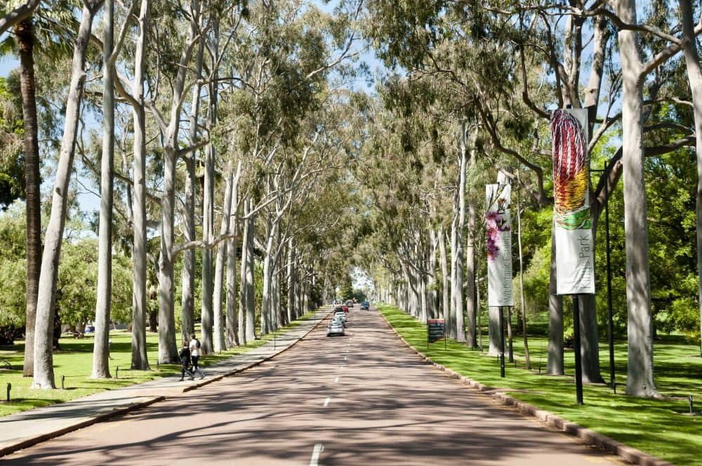 Lemon-scented spotted gum trees lined up at King's Park, Perth WA